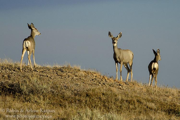 Mule deer, Saskatchewan