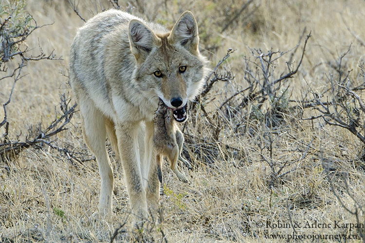 Coyote and prairie dog, Saskatchewan