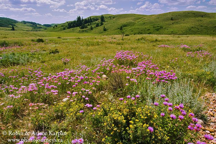 Wildflowers, Cypress Hills, SK