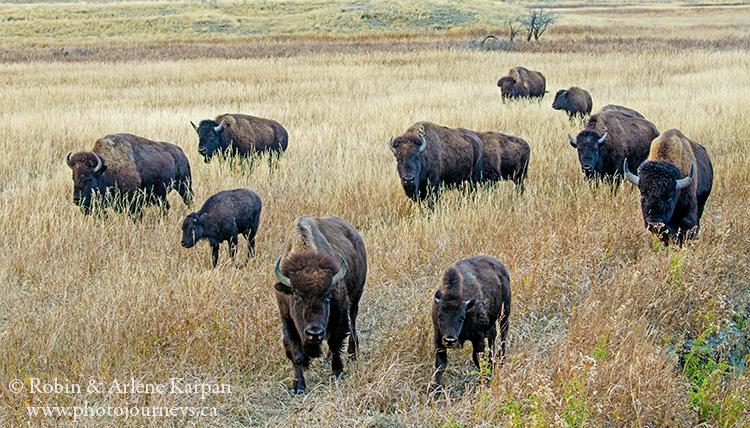 Bison, Grasslands National Park, SK